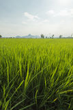 Rice paddy in front of Iko Mountain, Petchaburi, Thailand Royalty Free Stock Photography