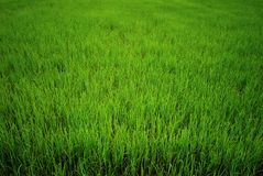 Rice paddy, green field. Main agriculture in Thailand stock photos