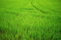 Rice paddy, green field. Main agriculture in Thailand stock image
