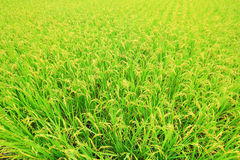 Rice ( paddy ) growing in the field Royalty Free Stock Photo