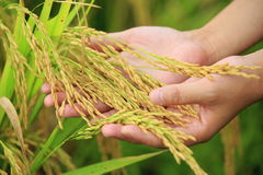 Rice paddy. Hand hold rice paddy at field royalty free stock images