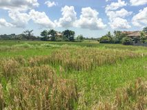 A rice paddy hidden in a village in Bali, Indonesia. royalty free stock photo