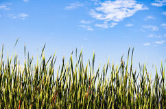 Rice Paddy, Huasca de Ocampo, Mexico. View of the blue sky from the green rice paddy stock photography