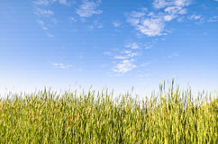 Rice Paddy, Huasca de Ocampo, Mexico. View of the blue sky from the green rice paddy royalty free stock images