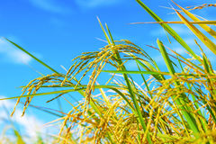 Rice Paddy In Blue Sky Royalty Free Stock Photo