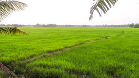 Rice Paddy India Stock Image
