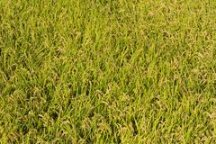 Rice paddy just before harvest Stock Images