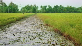 Rice paddy in Kerala Backwaters Royalty Free Stock Photography