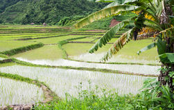 Rice paddy in Laos Royalty Free Stock Image