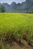 Rice paddy in Laos royalty free stock photography