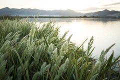 Rice paddy moss. At La Marina Alta - Marjal de Pego-Oliva Royalty Free Stock Photo