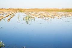 Rice paddy moss. At La Marina Alta - Marjal de Pego-Oliva Royalty Free Stock Photos