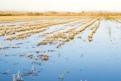 Rice paddy moss. At La Marina Alta - Marjal de Pego-Oliva Royalty Free Stock Photography