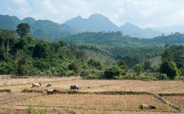 Rice paddy and mountains on horizon Stock Photo