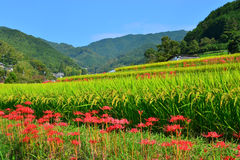 Rice Paddy in Nara, Japan. Royalty Free Stock Images