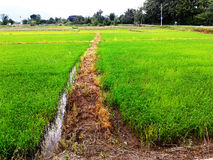 Rice Paddy. Near the road in Thailand Royalty Free Stock Photos