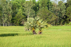 Rice paddy with palm tree Royalty Free Stock Images