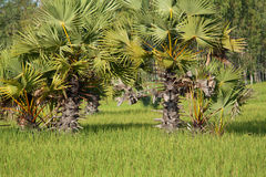 Rice paddy with palm tree Stock Photography