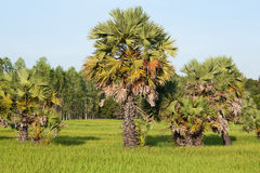 Rice paddy with palm tree Royalty Free Stock Image