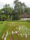 Rice paddy, palm trees, tropical trees and small shed on the island of Bali, Indonesia. royalty free stock photography