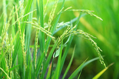 Rice paddy plant closeup Stock Photo