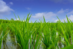 Rice  plant and Sky Stock Images