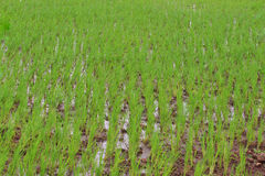 Rice paddy plantation Stock Photos