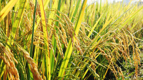 Rice paddy. Ripening rice in a paddy field close up Stock Photos
