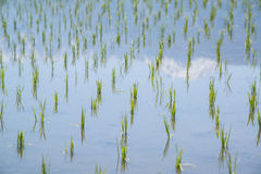 Rice paddy and snowy mountains reflection Stock Images