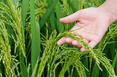 Rice paddy Royalty Free Stock Photos