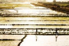 Rice paddy sunshine Royalty Free Stock Photo