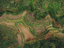 Rice paddy terraced fields Royalty Free Stock Image