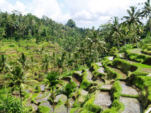 Rice Paddy Terraces @ Bali  Stock Photography