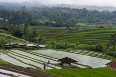 Rice Paddy Terraces. Scene overlooking traditional rice paddy terraces in Asia Royalty Free Stock Image
