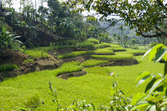 Rice Paddy Terraces Stock Image