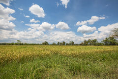 Rice paddy in thailand with blue sky with cloud in the sky noon Royalty Free Stock Photography