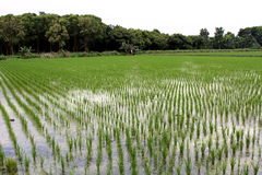 Rice paddy Stock Photos