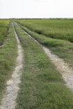 Rice paddy. Way in a rice paddy field at the albufera. Ecologic way Stock Image