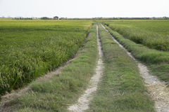 Rice paddy. Way in a rice paddy field at the albufera. Ecologic way Stock Images