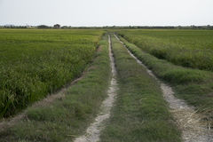 Rice paddy. Way in a rice paddy field at the albufera. Ecologic way Stock Photo