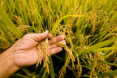 Rice paddy Stock Image