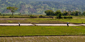 Rice Paddy Work Stock Photos
