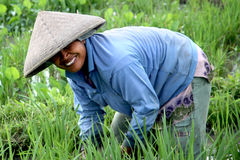 Rice Paddy Worker. Balinese woman working in the green rice paddy fields outside of Kuta, Bali Stock Photography