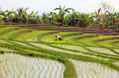 Rice paddy with worker. A green, terraced rice field in Bali, with a worker in the centre of the image Stock Photography