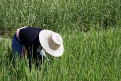 Rice Paddy Worker. A laborer bent over in a rice field Royalty Free Stock Image