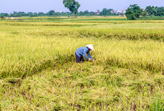 Rice Paddy Worker. At Hanoi, Vietnam Royalty Free Stock Photography