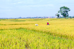 Rice Paddy Worker Stock Photos