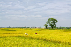 Rice Paddy Worker Stock Image