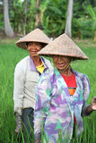 Rice Paddy Workers. Balinese women working in the green rice paddy fields outside of Kuta, Bali Stock Photos
