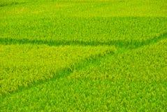 Rice paddyfield Royalty Free Stock Image